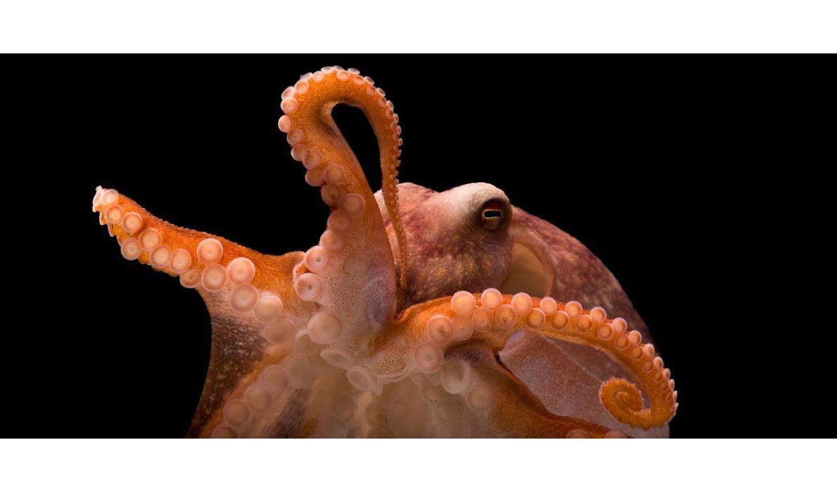 Åttearmet blekksprut