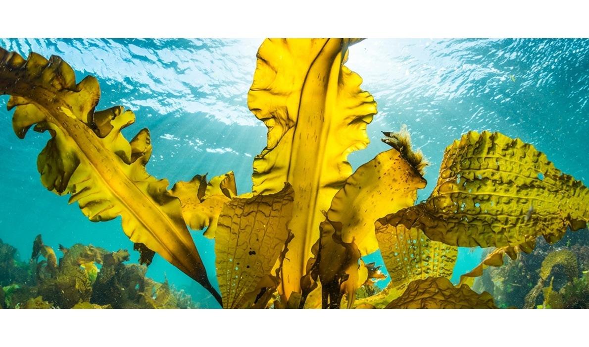 Bli med inn i tareskogen - Den blå skogen under vannet