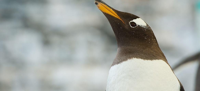 Pingvin om vinteren