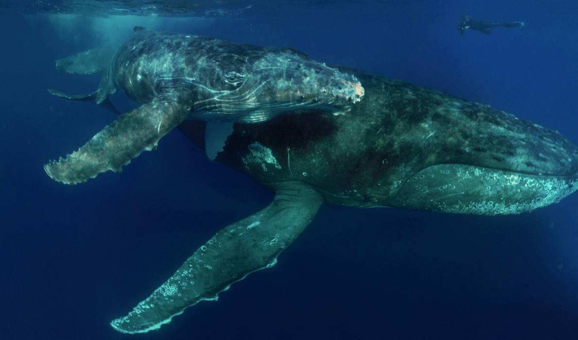 Knølhvalens vandring til europa