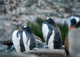 Den store pingvindåpen!