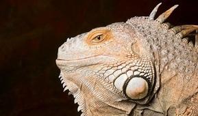 Iguanen Iggy