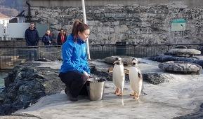 Natalie Steinfeldt mater pingviner på Akvariet i Bergen
