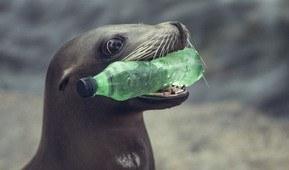 Sjøløven Amy plukker plastflaske