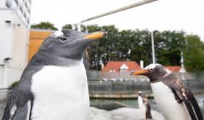 Pingviner på Akvariet i Bergen