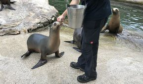 Fiona gets food from a bucket of fish