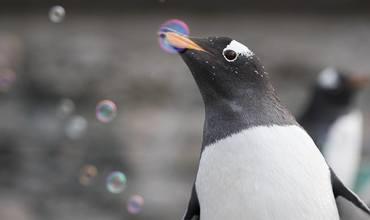 Endelig kan pingvinene få vaksine