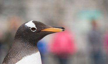 Pingvinene på rød løper til ny boltreplass