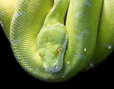 Grønn trepyton