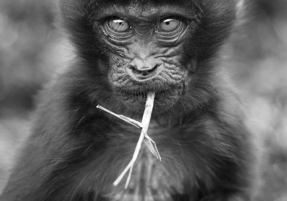 Sjimpanse ser i kamera og spiser strå