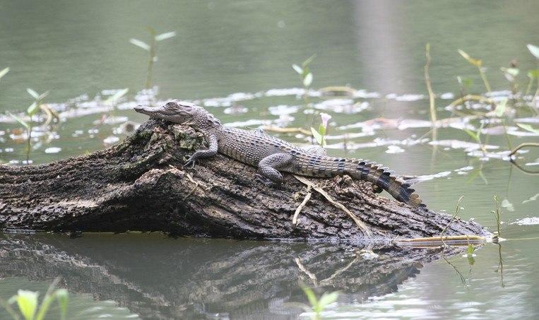 Lenge leve krokodillene!