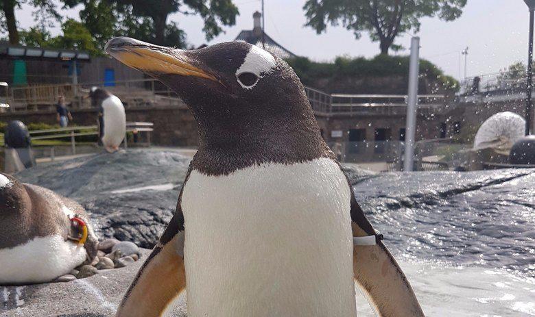 Velkommen til pingvinbursdag på Akvariet!