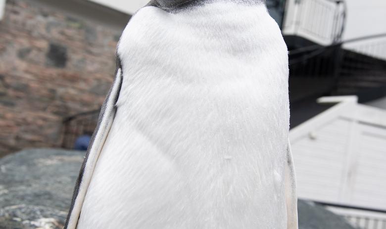 Pingvindåp - årets kylling skal døpes