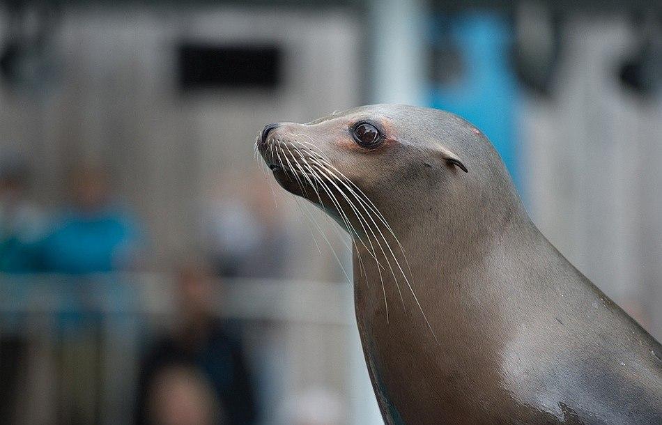 Sjøløve på Akvariet i Bergen