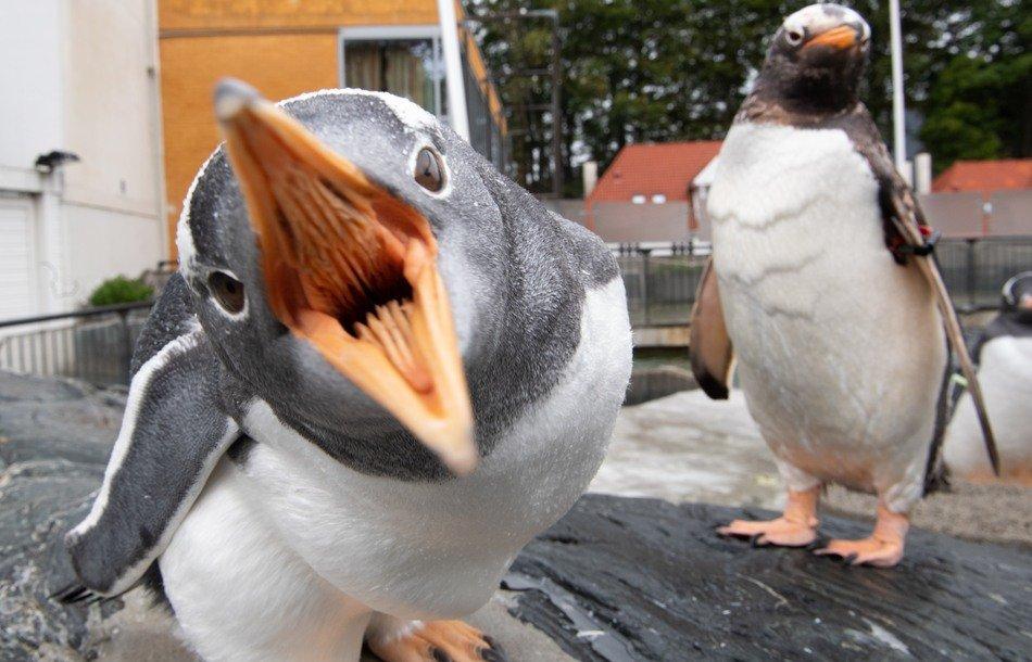 Bøylepingviner på Akvariet