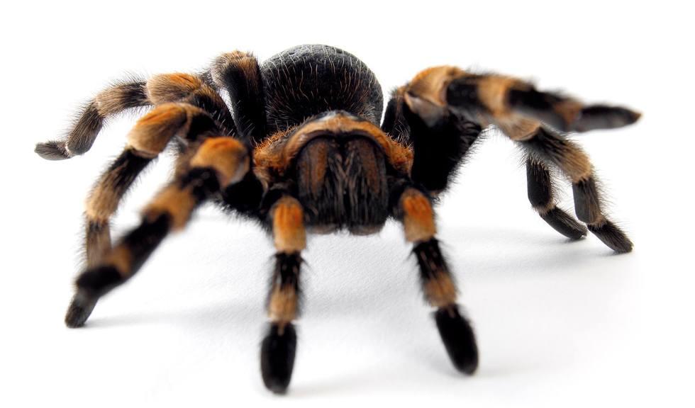 Edderkopp av arten tarantell