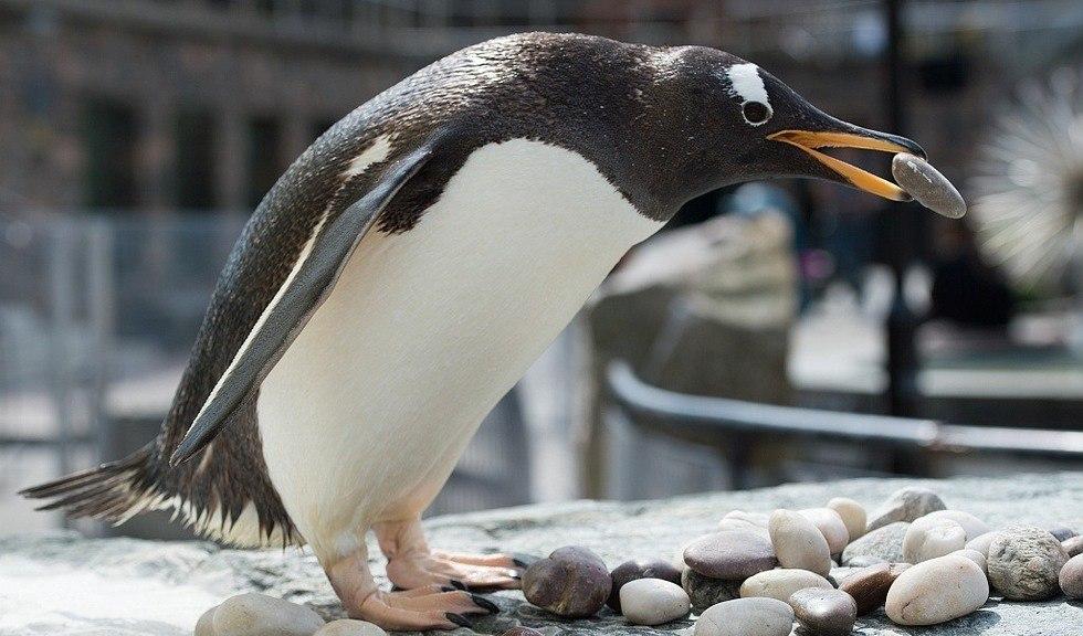 Pingvin som plukker stein med nebbet