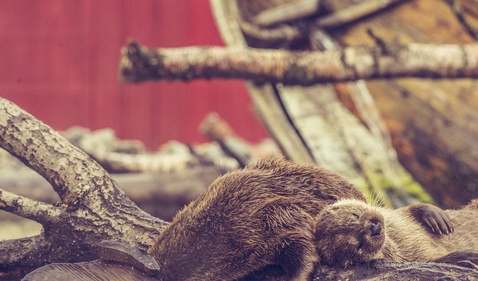 Gizmo og Bella sover sammen på Akvariet