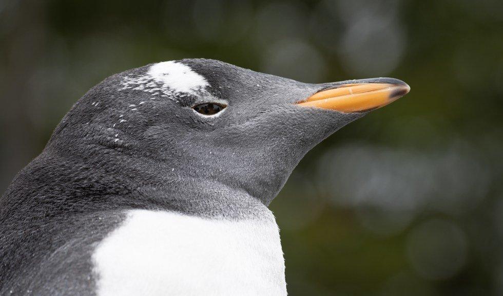 Pingvin på Akvariet i Bergen