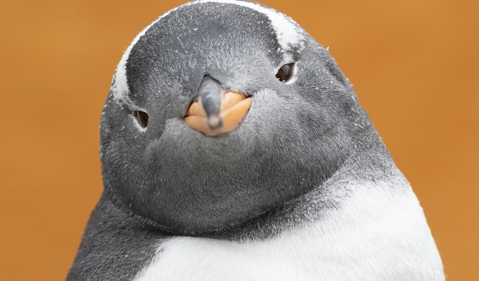 Tenkene pingvin ser i kamera