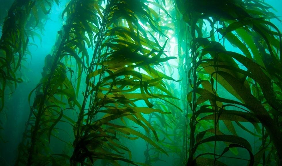 Tareskog under vann